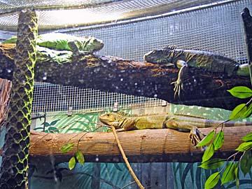 [lizards]