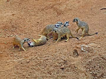 [meerkats]