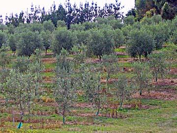 [olive trees]