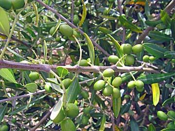[olives]