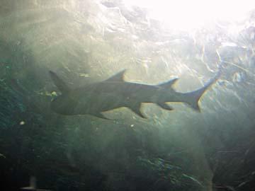[shark]