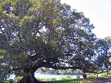 [fig tree]