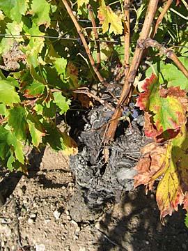 [old vine]