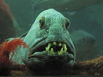 [fish teeth]