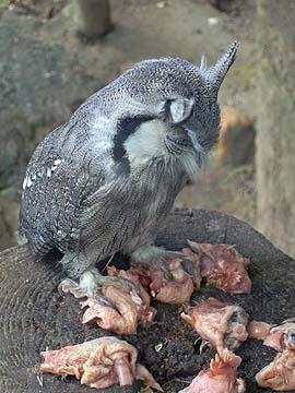 [owl dinnertime]
