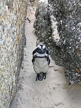 [lone penguin]