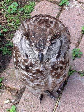 [sleeping owl]