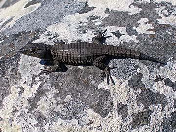 [lizard]