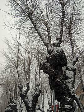 [snowy tree]