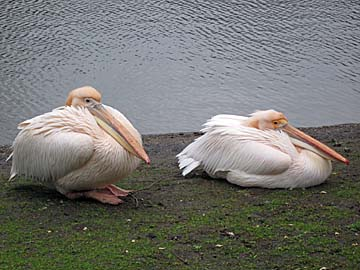 [pelicans]