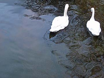 [swans]