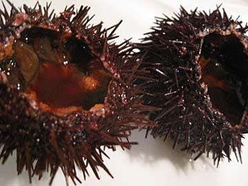[urchin]