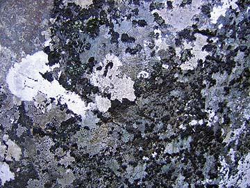 [lichen]