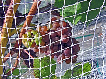 [grape/net close-up]