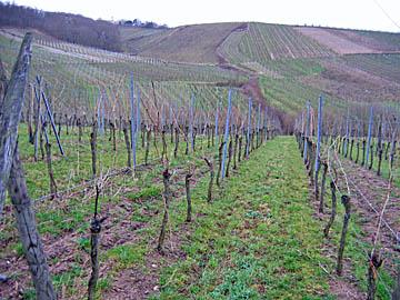 [vineyards near andlau]